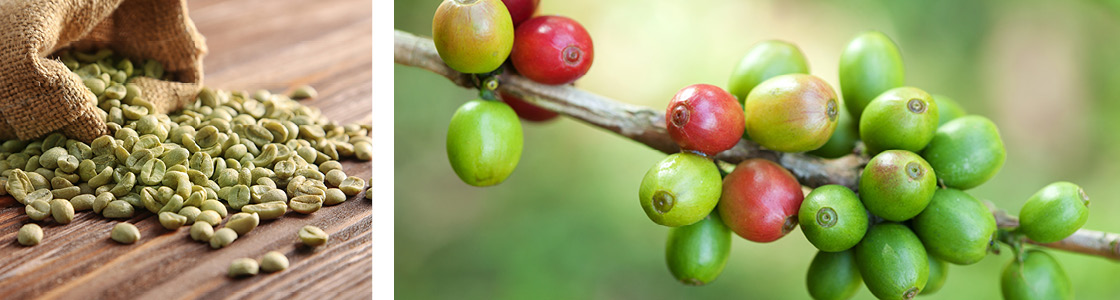 coffea-robusta